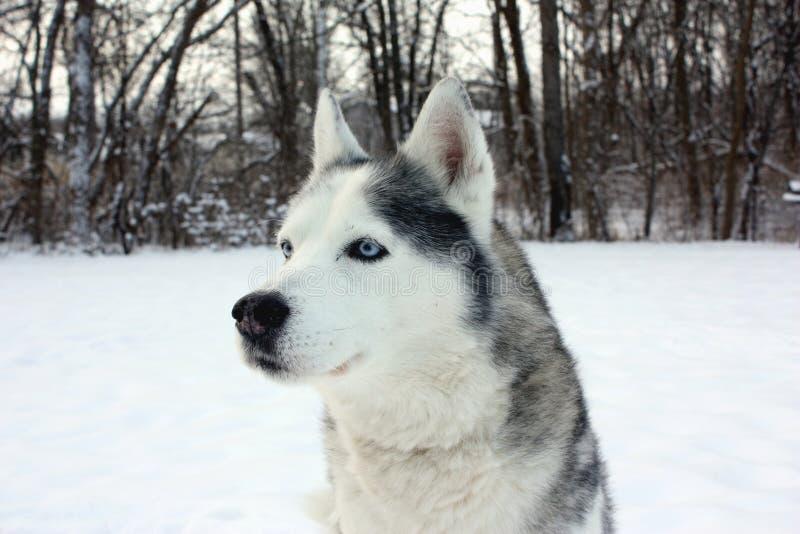 Husky in Snow stock photo