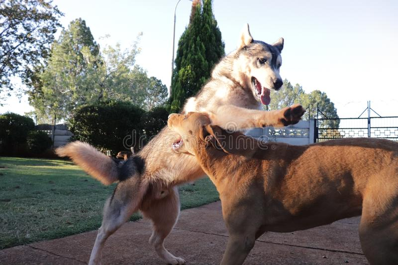 Husky Tackling Another Dog royaltyfria foton