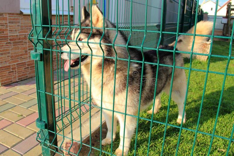 Husky in una gabbia fotografia stock libera da diritti