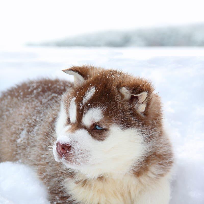 Husky valp i snowen arkivbilder