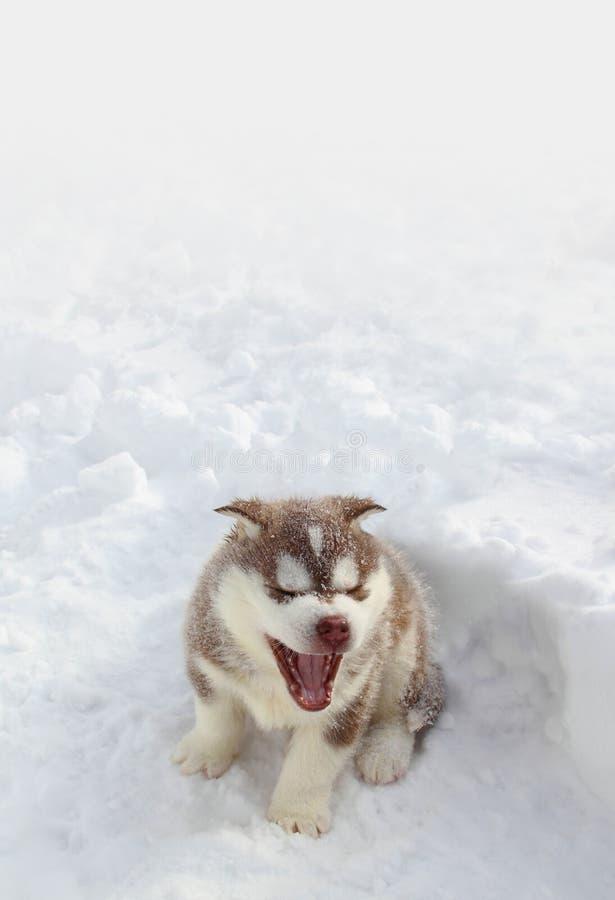 Husky valp i snowen royaltyfri bild