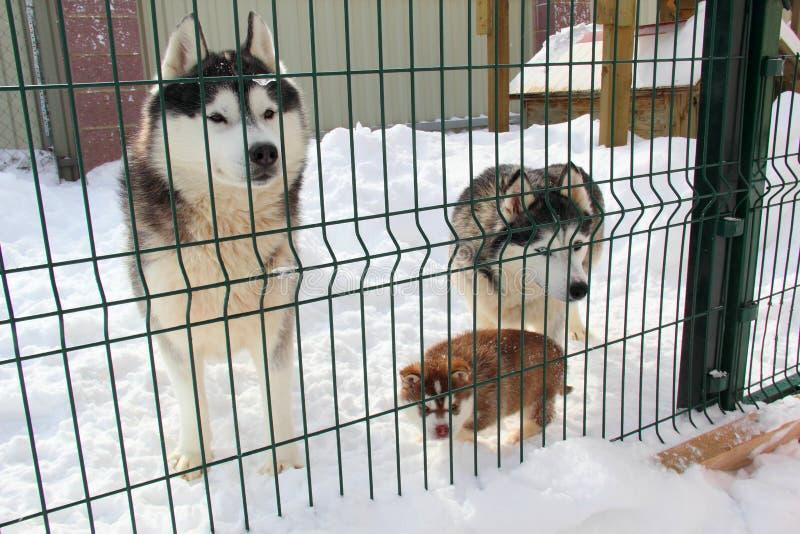 Husky valp i snowen royaltyfria bilder
