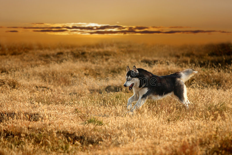 Download Husky1 stock image. Image of husky, golden, energy, running - 4301887