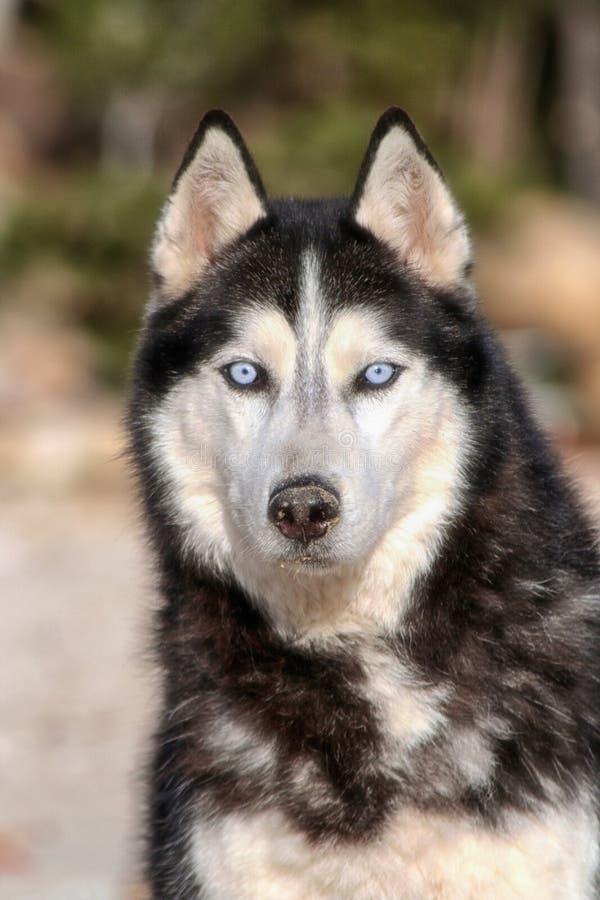 Huskyhund lizenzfreies stockbild