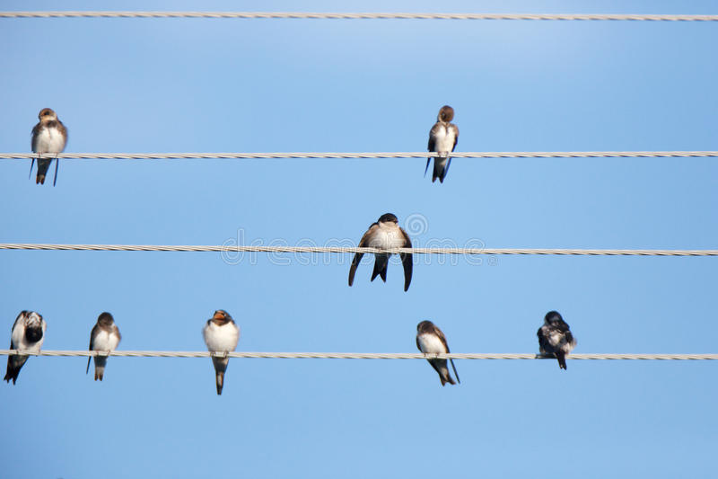 Hussvala (Delichonurbicaen) djurliv för naturlig fotografi för fågellivsmiljö wild arkivfoto
