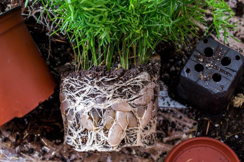 Husväxter, blommor med ett öppet rotar systemet Transplantat till växten arkivbilder