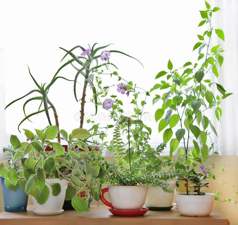 Husväxter på tabellen fotografering för bildbyråer