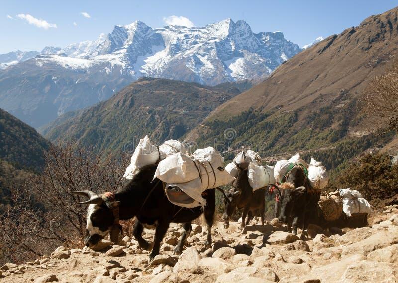 Husvagn av yaks som går till den Everest basläger arkivfoton