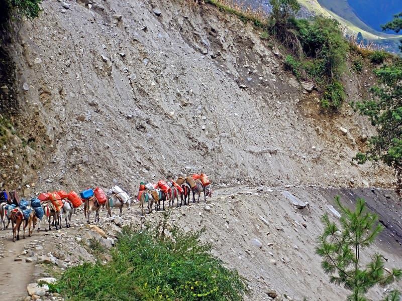 Husvagnen av åsnor går på klippkanten, Annapurna som trekking royaltyfri bild