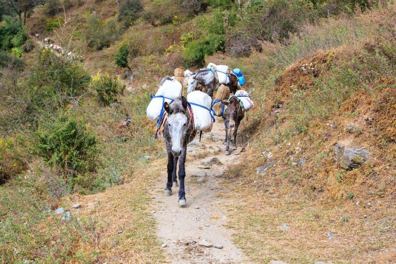 Husvagnen av laden mulor följer den Himalayan banan Nepal Himalaya arkivfoto