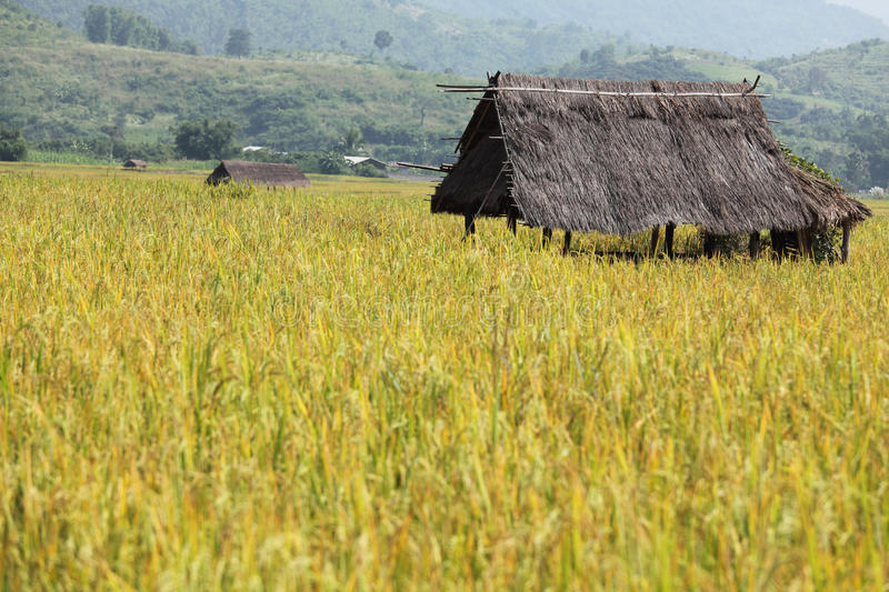 Download Hut in a rice field stock photo. Image of harvest, beauty - 18156720
