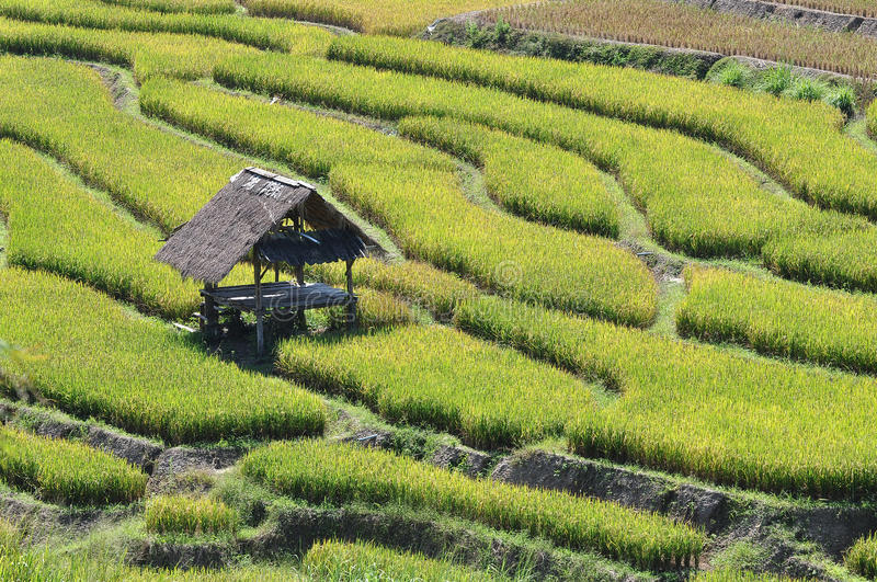Download The Hut In Terrace Rice Field Stock Photo - Image: 25193568