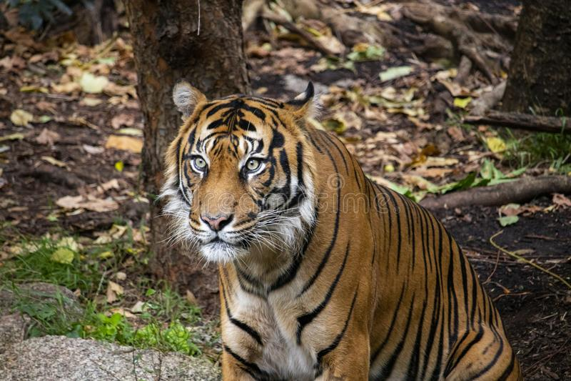 Hutan the Sumatran Tiger sitting in his enclosure royalty free stock image