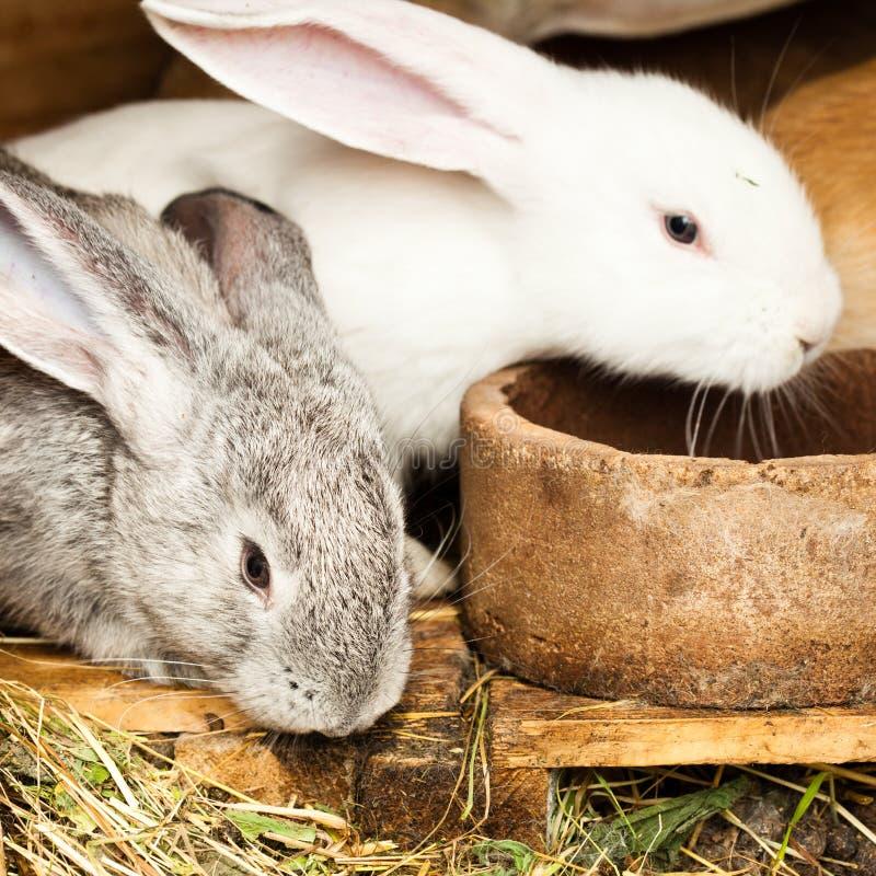 hutch króliki obrazy royalty free
