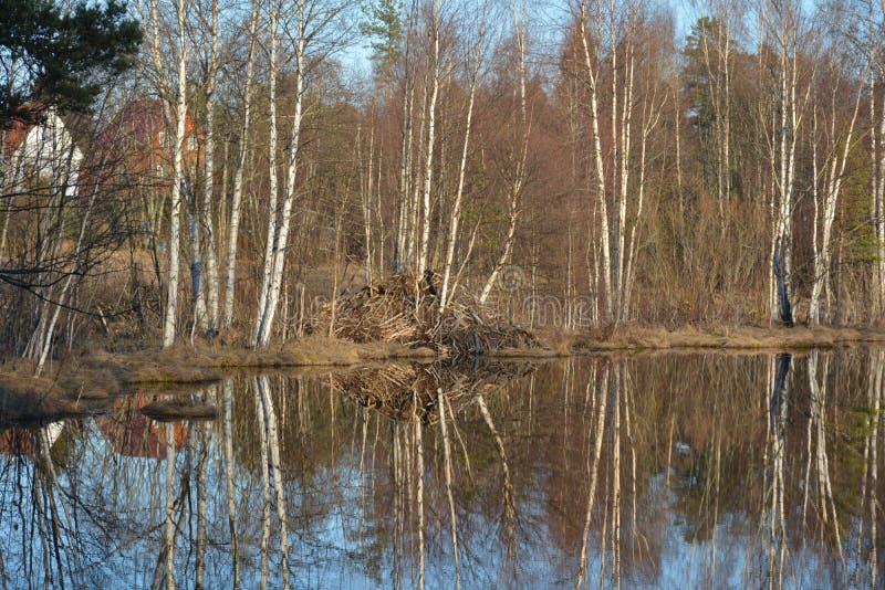 Hutfamilie van bevers op het meer stock fotografie