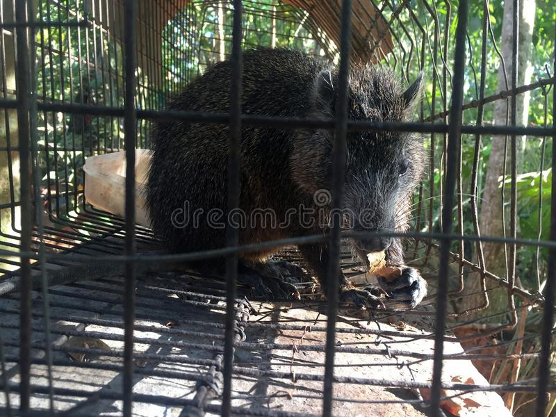 Hutia in Cuba. Hutias are moderately large cavy-like rodents of the family Capromyidae that inhabit the Caribbean Islands. They resemble the nutria in some royalty free stock photo
