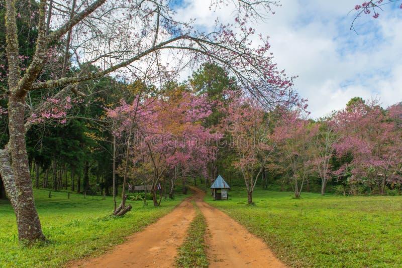 hutte et avec la cerise rose ou Sakura thaïlandais fleurissant pendant l'hiver a photos libres de droits