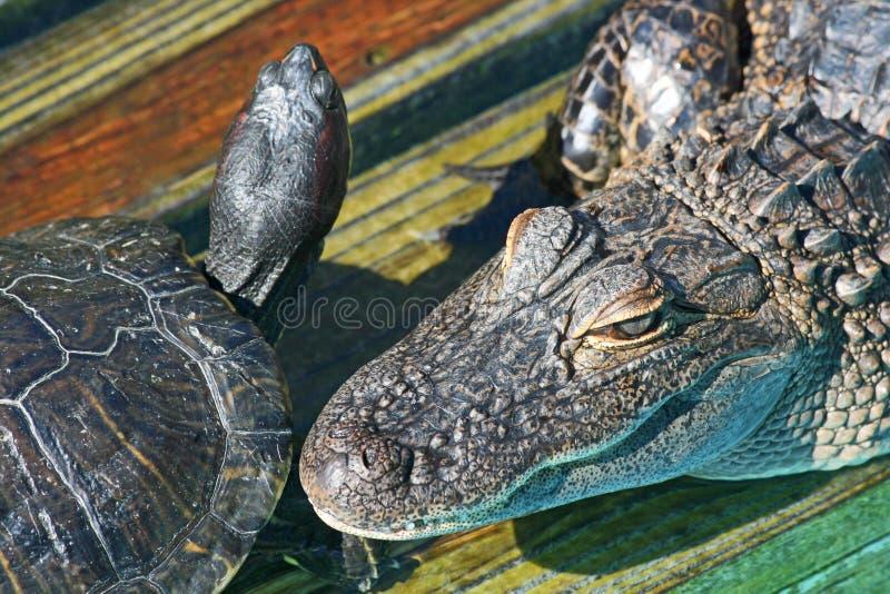 Huvud av alligatorn och sköldpaddan royaltyfri bild