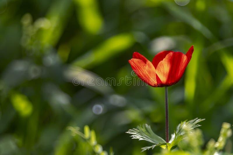 Huvud av att blomma den röda anemonen i panelljussidosikt på suddig bakgrund royaltyfri foto