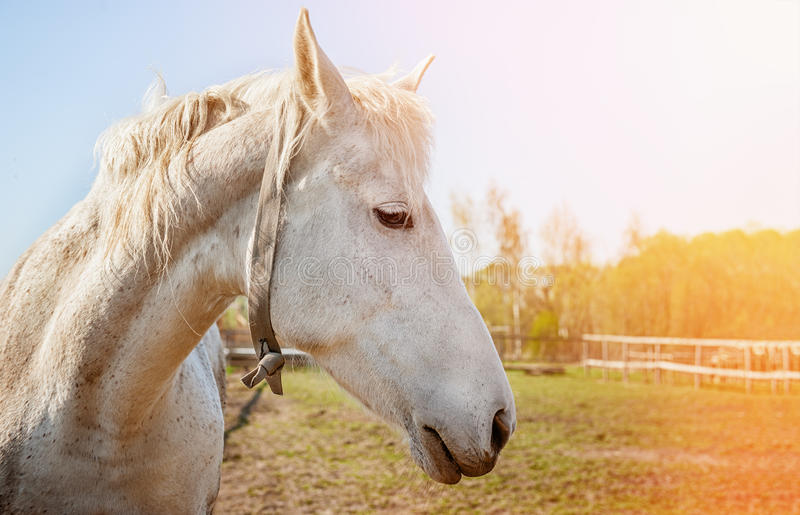 Huvud av closeupen för vit häst i solig dag royaltyfri fotografi