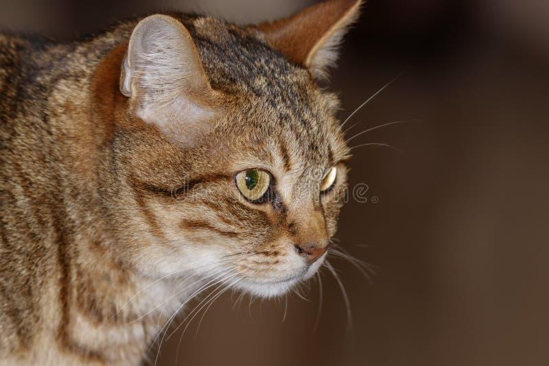 Huvud av den gråa närbilden för strimmig kattkatt royaltyfria foton