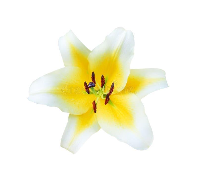 Huvud av den gula liljan för färgrik natur med den vita kanten och mörkt - rött blomma för pollenblommor som isoleras på vit bakg royaltyfria bilder