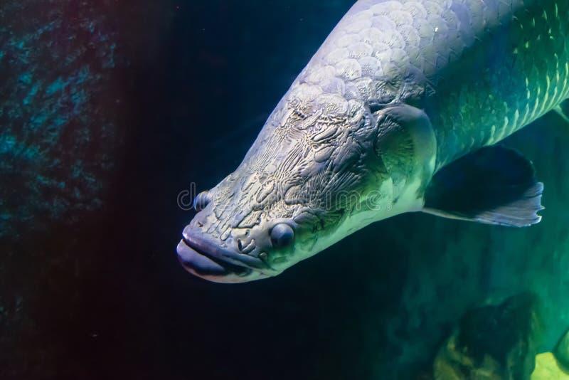 Huvud av den stora fisken med lättnad i akvariet arkivfoto