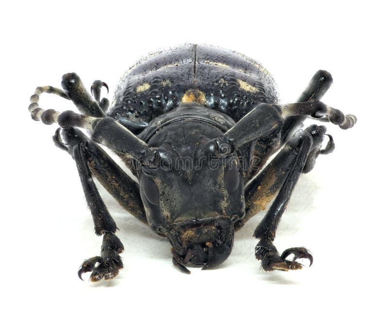 Huvud av den vuxna citrusa lång-horned skalbaggen royaltyfria bilder