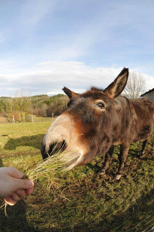 Huvud av en åsna som äta gräs tuft arkivfoton