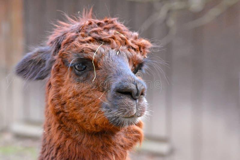 Huvud av en brun hårig alpacacamelid på oskarp bakgrund royaltyfri bild