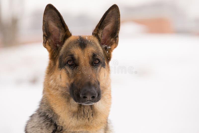 Huvud av en brun hund arkivbild