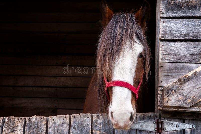 Huvud av en Clydesdale häst royaltyfri fotografi
