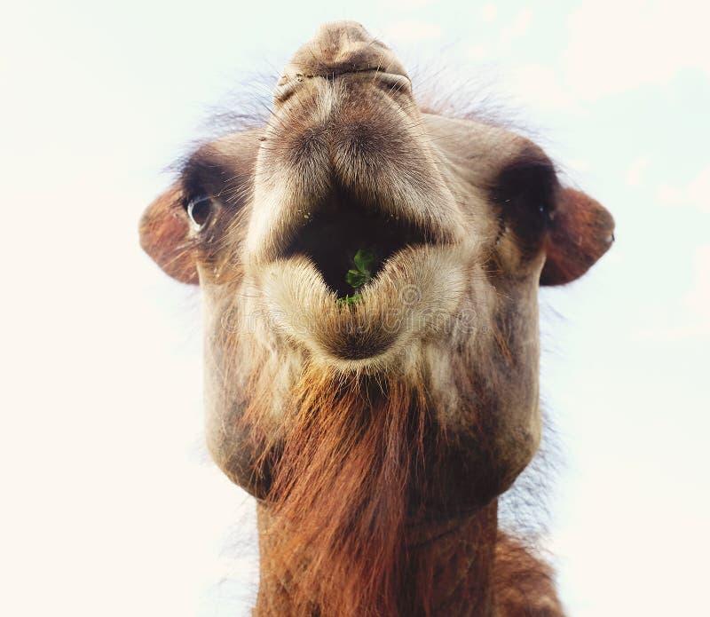 Huvud av en kamel mot himlen royaltyfria bilder
