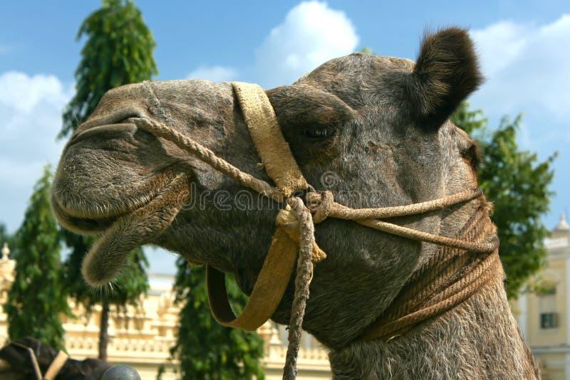 Huvud av en kamel på den Mysore slotten i den Mysore staden royaltyfria bilder