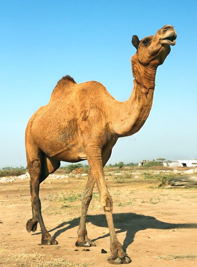 Huvud av en kamel på safari - öken royaltyfri foto