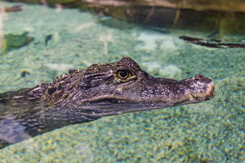Huvud av en krokodil i klart vatten, närbildsikt arkivbilder