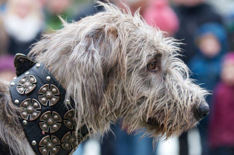 Huvud av en lurvig wolfhound arkivfoton