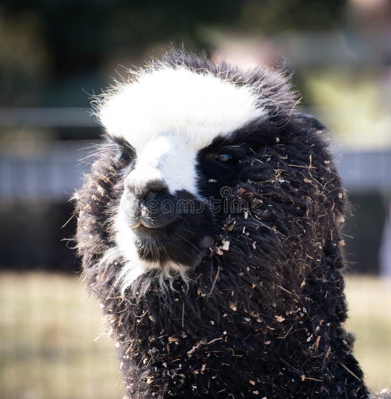 Huvud av en smutsig Alpacalama royaltyfria bilder
