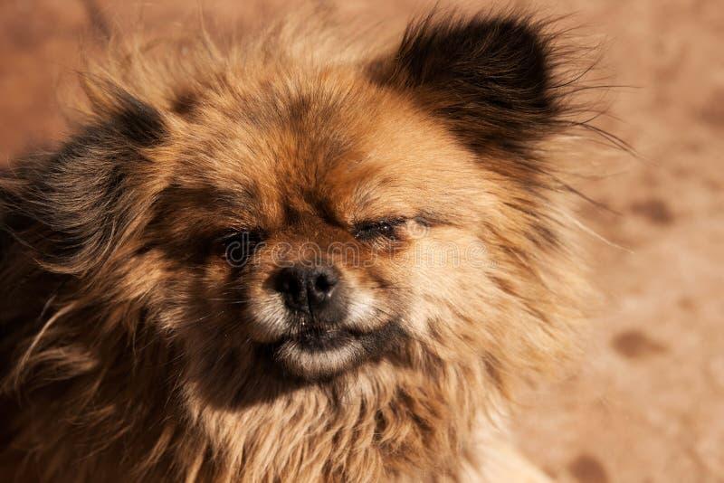 Huvud av en smutsig hårig liten hund med stängda rivna ögon och den svarta näsan royaltyfri foto
