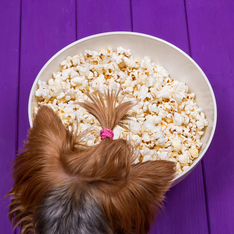 Huvud av en Yorkshire terrier bredvid en bunke av popcorn arkivfoto