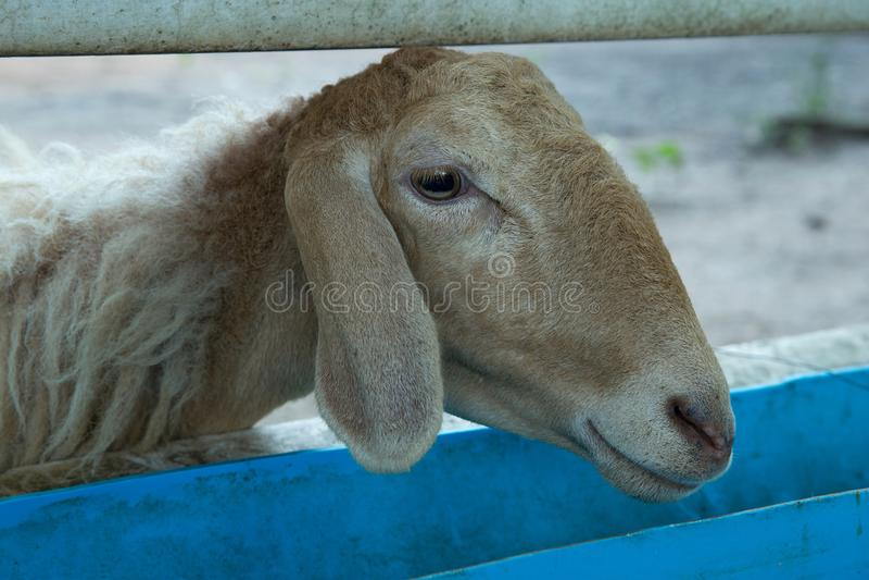 Huvud av får i lantgården fotografering för bildbyråer