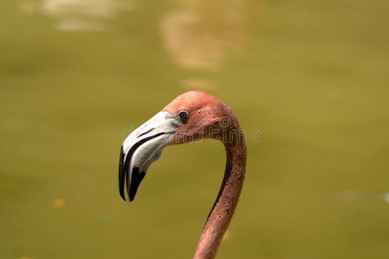 Huvud av flamingo i profil royaltyfria foton