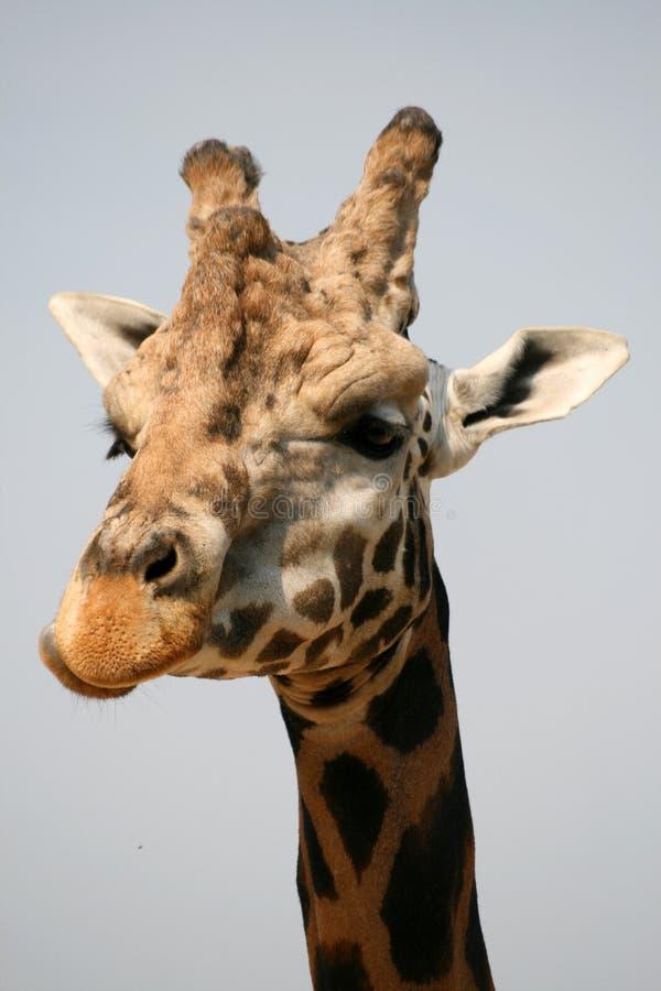 Huvud av giraffet i en zoo arkivbilder