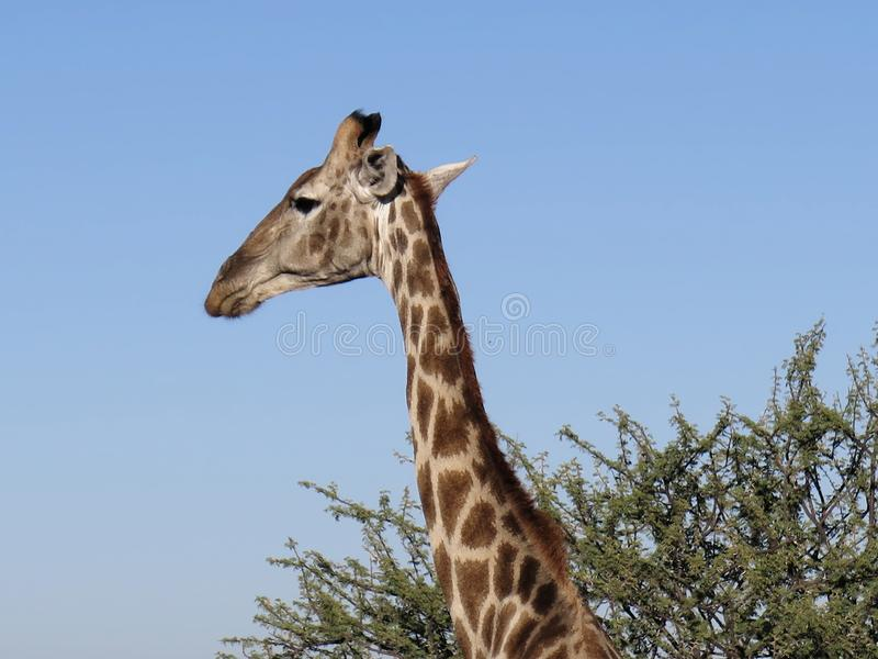 Huvud av giraffet mot bakgrund av det klara blå himmel- och gräsplanakaciaträdet på den Okonjima naturreserven, Namibia fotografering för bildbyråer