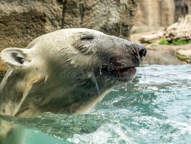 Huvud av isbjörnUrsusmaritimusen ovanför - vatten Isbjörnar är utmärkta simmare och ofta ska simma för dagar De kan simma arkivfoton