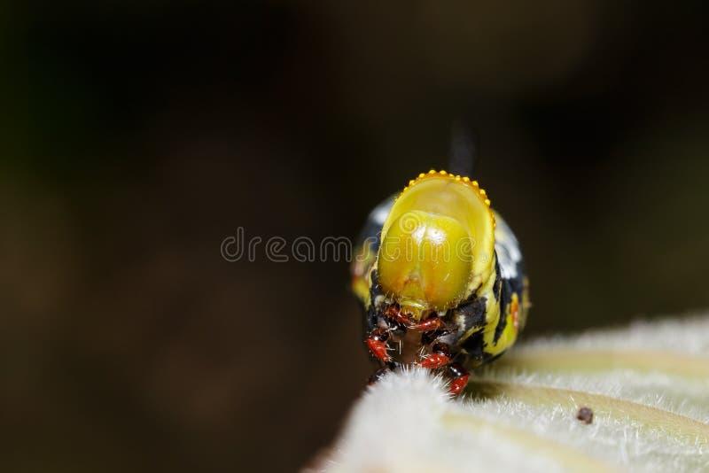 Huvud av Pellucid Hawk Moth (Cephonodes hylas Linnaeus) caterpill royaltyfria bilder