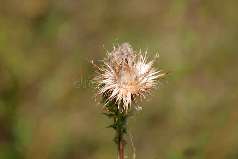 Huvud för blomma för växter för fullständigt öppen större kardborre eller Arctiumlappa tvåårigt med fullständigt kasserat frö som royaltyfria foton