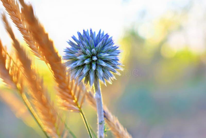 Huvud f?r Echinops f?r jordklottistel sphaerocephalus bl?tt spetsigt av en bl? blomma i f?ltet p? solnedg?ngen i solen royaltyfri foto
