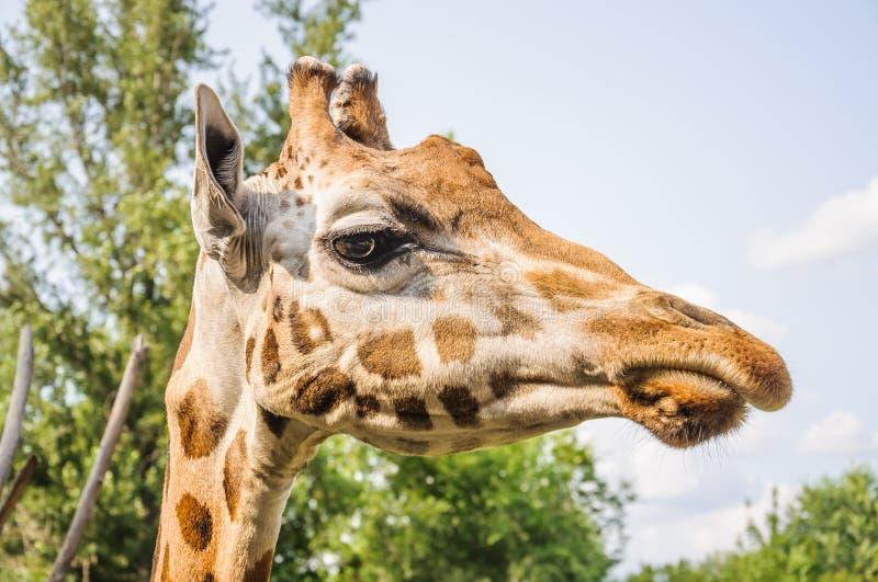 Huvud för giraff för Rothschild ` s arkivfoto