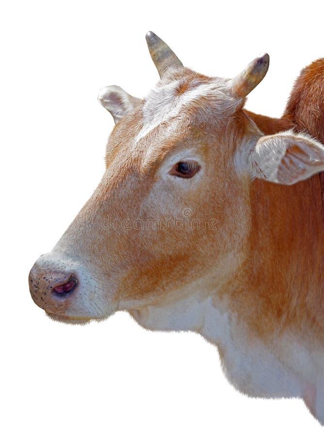 Huvud för kalv` s på vit royaltyfri fotografi